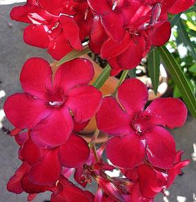 OLEANDER HAUS  Nerium Oleander   Vérvörös bársony