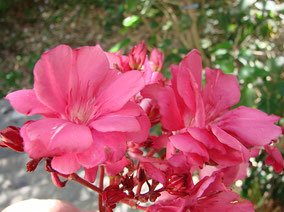 OLEANDER HAUS  Nerium Oleander Gotsis Ariadne