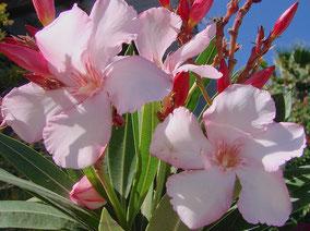 OLEANDER HAUS  Nerium Oleander Gotsis Alkmene