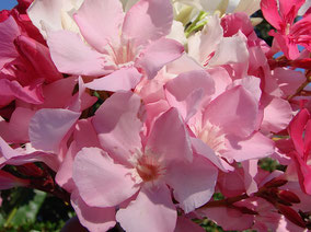 OLEANDER HAUS  Nerium Oleander Gotsis Aineias