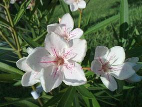 OLEANDER HAUS  Nerium Oleander Harriet Newding
