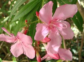 OLEANDER HAUS  Nerium Oleander Gotsis Hephaistos