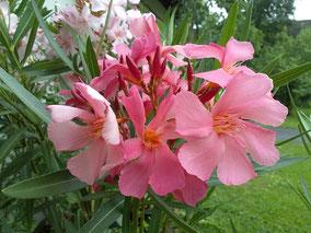 OLEANDER HAUS  Nerium Oleander Madame Leon Blum