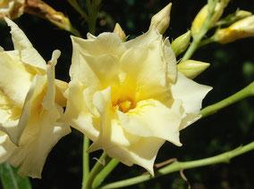 OLEANDER HAUS  Nerium Oleander Gotsis Helios