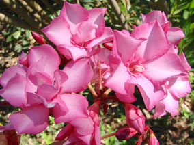 OLEANDER HAUS  Nerium Oleander Gotsis Priamos