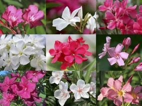 OLEANDER HAUS, Oleander, Oleander Sorten
