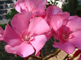OLEANDER HAUS  Nerium Oleander Gotsis Nausikaa