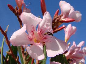 OLEANDER HAUS  Nerium Oleander Gotsis Atlantis