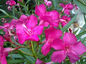 OLEANDER HAUS  Nerium Oleander Ville de la Londe