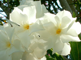 OLEANDER HAUS  Nerium Oleander Gotsis Penelope