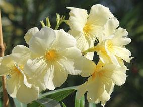 OLEANDER HAUS  Nerium Oleander Sorrento