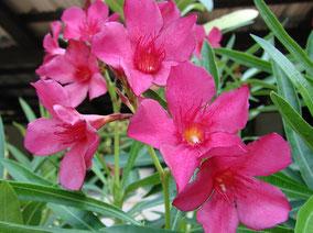 OLEANDER HAUS  Nerium Oleander Gotsis Paris