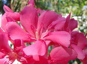 OLEANDER HAUS  Nerium Oleander Gotsis Zephyros
