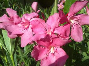 OLEANDER HAUS  Nerium Oleander Grandiflorum