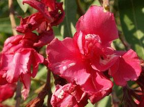 OLEANDER HAUS  Nerium Oleander Gotsis Chimaera