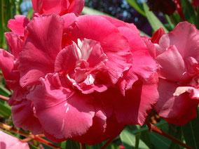 OLEANDER HAUS  Nerium Oleander Gotsis Elektra