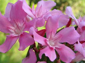 OLEANDER HAUS  Nerium Oleander Kyknos