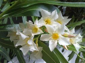 OLEANDER HAUS  Nerium Oleander Isle of Capri