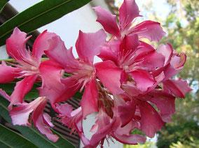 OLEANDER HAUS  Nerium Oleander Euphrosia