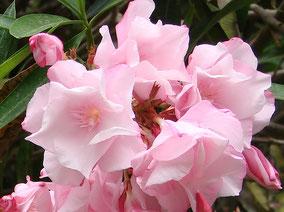 OLEANDER HAUS  Nerium Oleander Gotsis Kyklope