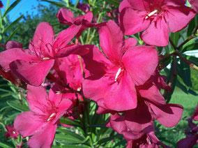 OLEANDER HAUS  Nerium Oleander Hardy Red