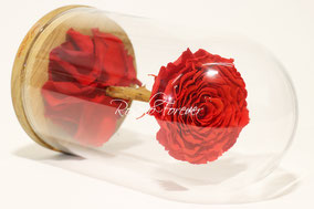 ROSES STABILISEES SOUS CLOCHE, AMOUR ETERNEL