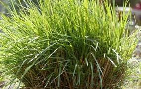 Diamantgras - Calamagrostis brachytricha