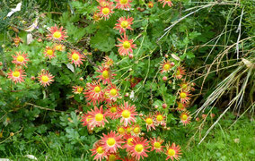Chrysanthemum roseum - Chrysantheme  apricot