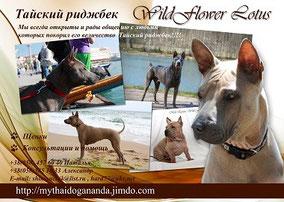 WildFlower Lotus,Тайский риджбек, Thai Ridgeback Dog, Thai Dog