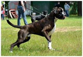 Boxer Welpen NRW