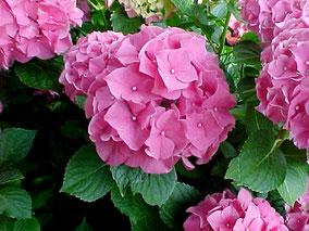 гортензия Розовая Крупнолистная в Клину