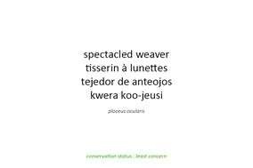 spectacled weaver, tisserin à lunettes, tejedor de anteojos
