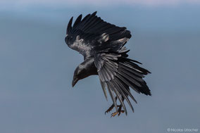 Fan-tailed raven, corbeau à queue courte, cuervo colicorto