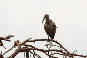 hadada ibis, ibis hagedash, Nicolas Urlacher, birds of Kenya, birds of Africa, water birds, widlife of Kenya