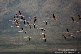 greater flamingo, flmant rose, flamenco comun, Nicolas Urlacher, wildlife of Kenya, birds of Kenya, birds of africa, water birds, waders