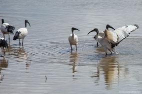 african sacred ibis, ibis sacré, ibis sagrado, Nicolas Urlacher, wildlife of kenya, birds