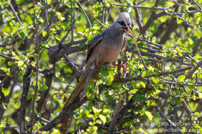 white-headed mousebird, pajaro raton cabeciblanco, coliou a tete blanche, birds of Africa, bird of Kenya, wildlife of kenya, Nicolas Urlacher