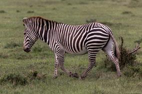 hybrid zebra, zebre hybride, cebra hibrida, Nicolas Urlacher, wildlife of kenya, endangered species, ol pejeta conservancy, grevy zebra