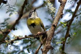 yellow-breasted apalis, apalis flavida, birds of Kenya, Nicolas Urlacher, wildlife of Kenya, apalis a gorge jaune,  apalis de pecho amarillo