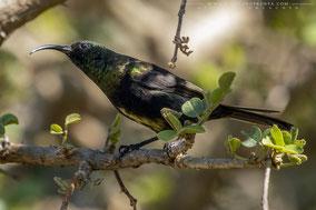 bronze sunbird, souimanga bronzé, suimanga bronceado, nicolas urlacher, wildlife of kenya, birds of kenya, birds of africa