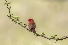Red-billed firefinch, amarante du Sénégal, amaranta senegalesa, Nicolas Urlacher, wildlife of Kenya, birds of Kenya
