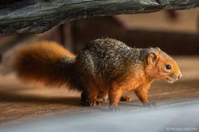 red bush squirrel, écureuil à ventre rouge, ardilla de arbusto roja