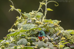 eastern double-collared sunbird, Cinnyris mediocris, souimanga du kilimandjaro, suimanga del kilimanjaro, birds of kenya, birds of africa, wildlife of kenya, Nicolas Urlacher, birding, ornithology