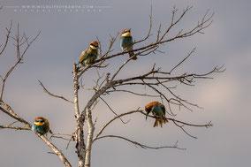 eurasian bee-eater, guêpier d'Europe, abejaruco europeo, birds of africa, birds of kenya, migratory birds, wildlife of kenya, Nicolas Urlacher