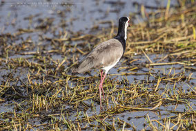 long-toed plover, long(toed lapwing, vanneau a ailes blanches, vanneau a face blanche, avefria palustre, Nicolas Urlacher, wildlife of kenya, birds of kenya, birds of africa