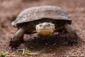 african helmeted terrapin, pelomedusa, wildlife of kenya, tortue, turtles of africa, turtles of kenya, tartaruga, Nicolas Urlacher