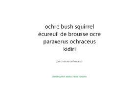 ochre bush squirrel, ecureuil de brousse ocre, Nicolas Urlacher, wildlife of kenya