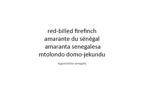 Red-billed firefinch, amarante du Sénégal, amaranta senegalesa