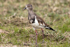 Black-winged Plover