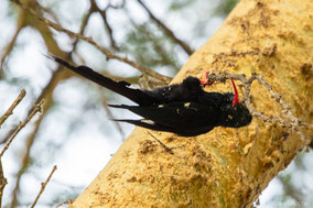 Green wood hoopoe, irrisor moqueur, abubilla arborea verde, Nicolas Urlacher, wildlife of kenya, birds of kenya, birds of africa
